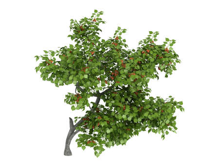 armenian: Rendered 3d isolated armenian plum (Prunus armeniaca)