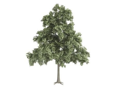 quercus: Rendered 3d isolated oak (Quercus petraea) Stock Photo
