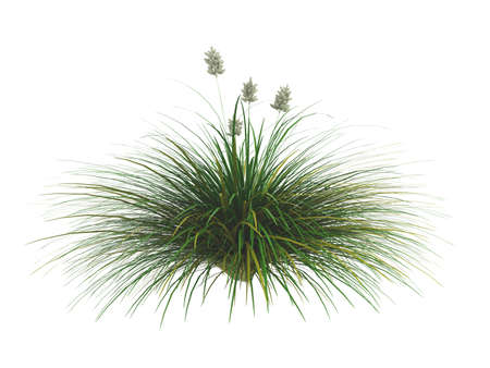 fescue: Rendered 3d isolated idaho fescue (Festuca idahoensis)