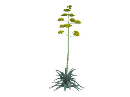 century plant: Rendered 3d isolated century plant (Agave americana) Stock Photo