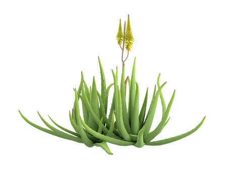 aloe vera plant: Rendered 3d isolated aloe vera