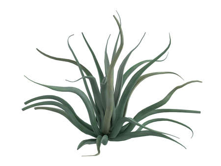 Rendered 3d isolated octopus agave (Agave vilmoriniana)