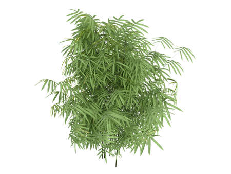 rinds: Rendered 3d isolated golden fishpole bamboo (Phyllostachys aurea) Stock Photo