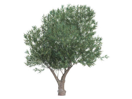 olive tree isolated: Rendered 3d isolated olive (Olea europaea)