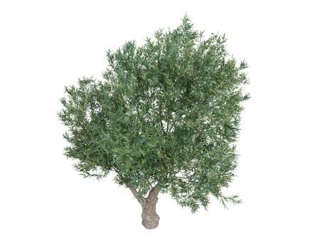 broadleaved tree: Rendered 3d isolated olive (Olea europaea)