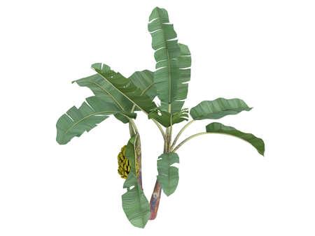 musa: Rendered 3d isolated banana (Musa acuminata)