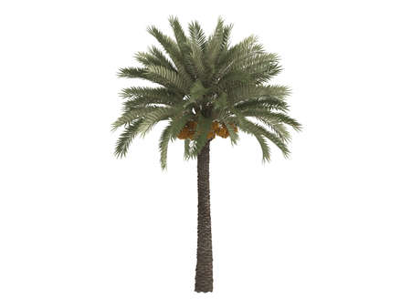 green dates: Rendered 3d isolated date palm (Phoenix dactylifera)