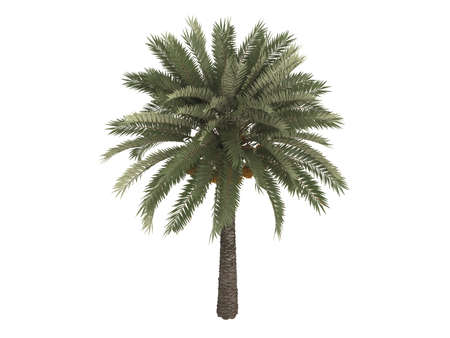 Rendered 3d isolated date palm (Phoenix dactylifera) photo