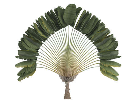 subtropical: Rendered 3d isolated travelers palm (Ravenala madagascariensis)