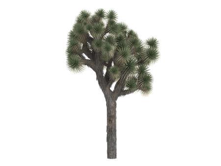 joshua: Rendered 3d isolated joshua tree (Yucca brevifolia)