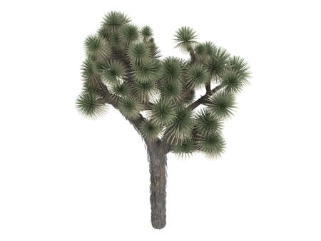 yucca: Rendered 3d isolated joshua tree (Yucca brevifolia)