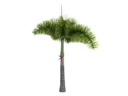 Rendered 3d isolated Foxtail Palm (Wodyetia bifurcata) Stock Photo - 9158757