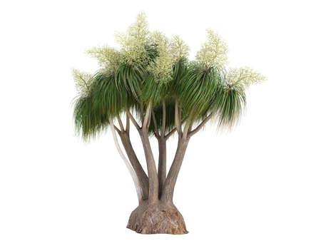 ponytail: Rendered 3d isolated Ponytail Palm (Nolina recurvata, Beaucarnea recurvata)