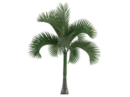 Rendered 3d isolated Carpoxylon Palm (Carpoxylon macrospermum) Stock Photo - 9158761