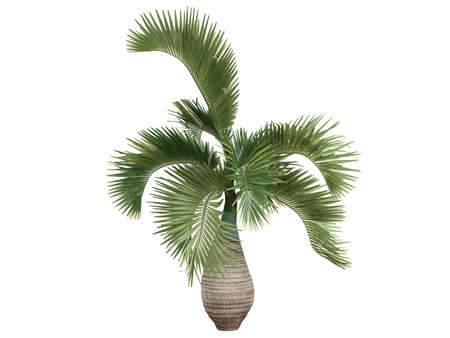tropical evergreen forest: Rendered 3d isolated Bottle Palm (Hyophorbe lagenicaulis)