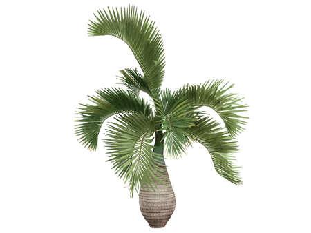 bark of palm tree: Rendered 3d isolated Bottle Palm (Hyophorbe lagenicaulis)