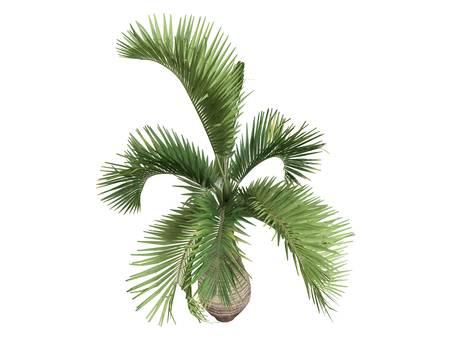 Rendered 3d isolated Bottle Palm (Hyophorbe lagenicaulis) photo