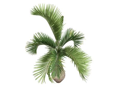 bark palm tree: Rendered 3d isolated Bottle Palm (Hyophorbe lagenicaulis)