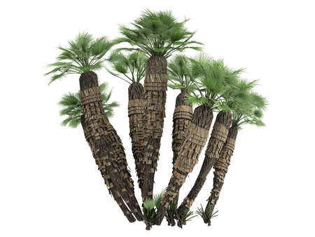Rendered 3d isolated European Fan Palm (Chamaerops humilis, Mediterranean Fan Palm) photo