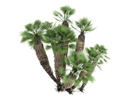 subtropics: Rendering 3d isolato europeo Fan Palm (Chamaerops humilis, Mediterraneo Fan Palm)