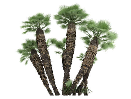 subtropics: Rendered 3d isolated European Fan Palm (Chamaerops humilis, Mediterranean Fan Palm) Stock Photo