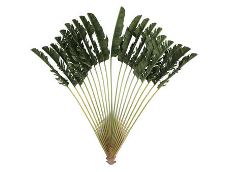 Rendered 3d isolated Traveller's Palm (Ravenala madagascariensis) Stock Photo - 9158760