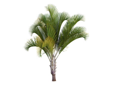 Rendered 3d isolated Triangle Palm (Dypsis decaryi) Stock Photo - 9158808