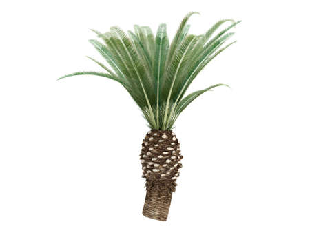 date: Rendered 3d isolated Date Palm (Phoenix canariensis) Stock Photo