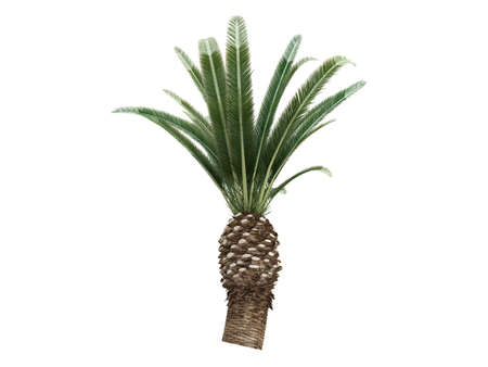 Rendered 3d isolated Date Palm (Phoenix canariensis) Stock Photo - 9158797