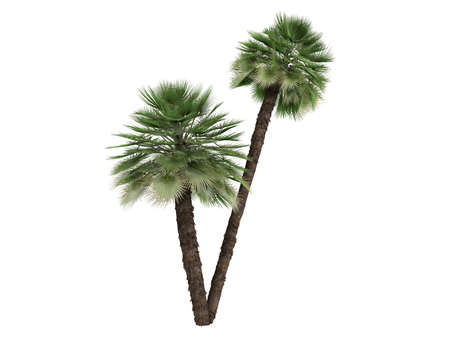 mediterranean forest: Rendered 3d isolated European Fan Palm (Chamaerops humilis, Mediterranean Fan Palm) Stock Photo