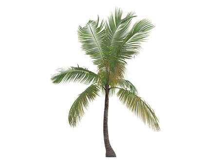 palmtree: Rendered 3d isolated coconut (Cocos nucifera) Stock Photo