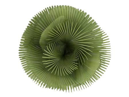 petticoat: Rendered 3d isolated Petticoat Palm (Copernicia macroglossa) Stock Photo