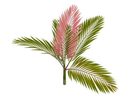 subtropics: Rendered 3d isolated Red leaf Palm (Chambeyronia macrocarpa)