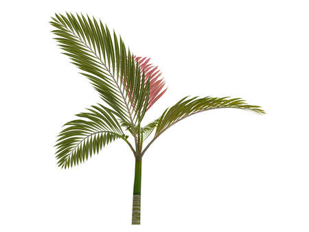 Rendered 3d isolated Red leaf Palm (Chambeyronia macrocarpa) Stock Photo - 9158852