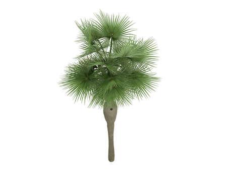 swollen: Rendered 3d isolated Guano (Coccothrinax spissa, swollen silver thatch palm)