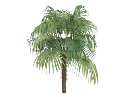 Rendered 3d isolated Zombie Palm (Zombia antillarum) Stock Photo - 9158864