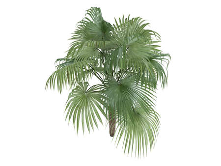 Rendered 3d isolated Zombie Palm (Zombia antillarum) Stock Photo - 9158865