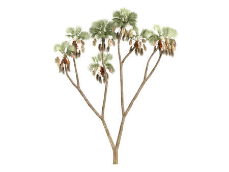 Rendered 3d isolated Gingerbread tree (Hyphaene thebaica) Stock Photo - 9158889