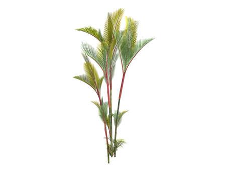 rajah: Rendered 3d isolated Lipstick Palm (Cyrtostachys renda, Sealing Wax Palm, Rajah Palm)