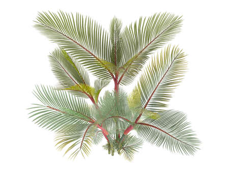 rajah: Procesa 3d aislados Lipstick Palm (Cyrtostachys renda, lacre Palm, Rajah Palm)