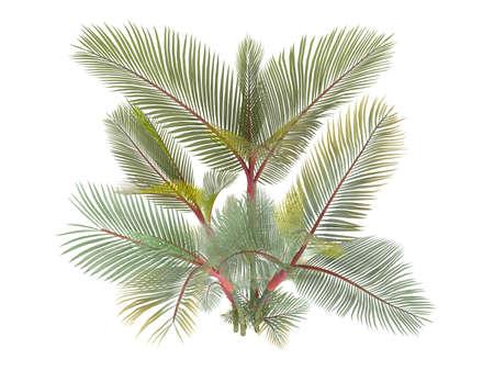 palmtrees: Rendered 3d isolated Lipstick Palm (Cyrtostachys renda, Sealing Wax Palm, Rajah Palm)