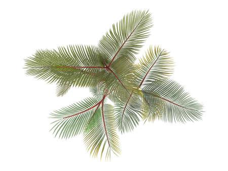 rajah: Prestados 3d aislados Lipstick Palm (Cyrtostachys renda, lacre Palm, Rajah Palm)