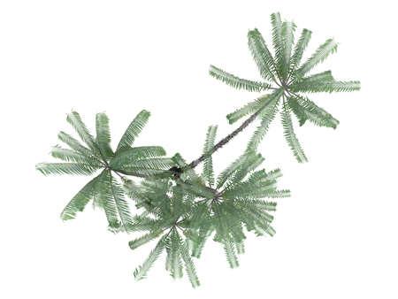Rendered 3d isolated Nibung Palm (Oncosperma tigillarium) Stock Photo - 9158910