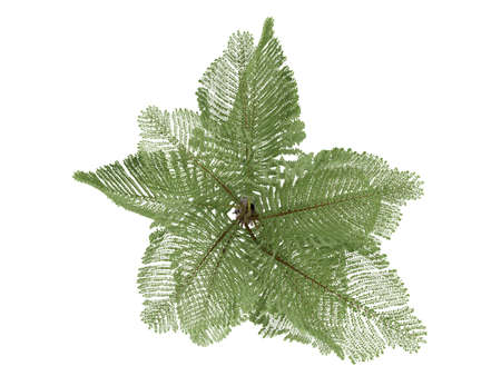 fishtail: Rendered 3d isolated Giant Mountain Fishtail palm (Caryota gigas)