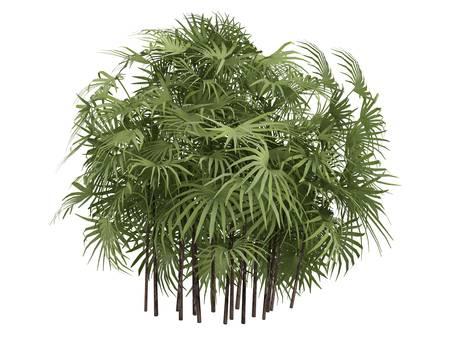 subtropics: Rendering 3d isolato Lady Palm (Rhapis excelsa, Palma di bamb�)