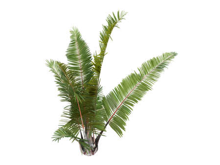 Rendered 3d isolated Rafia Palm (Raphia farinifera) Stock Photo - 9158920