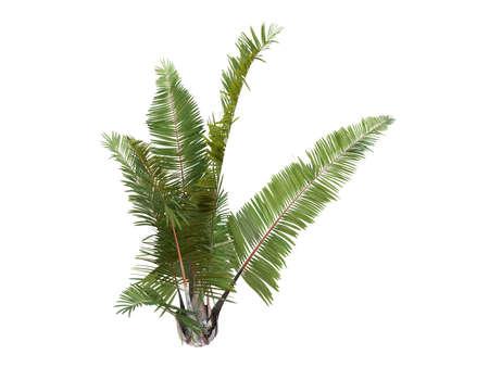 Rendered 3d isolated Rafia Palm (Raphia farinifera) Stock Photo - 9158920
