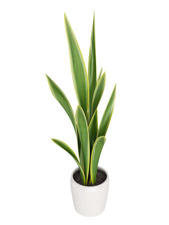 houseplant: Sansevieria, the snake plant, growing in a pot as a decorative houseplant where it forms dense clusters isolated on white