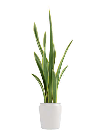 houseplants: Sansevieria, the snake plant, growing in a pot as a decorative houseplant where it forms dense clusters isolated on white