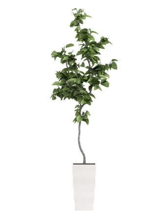 Bay laurel tree, an aromatic evergreen tree with glossy leaves used in cooking, growing as a potted houseplat isolated on white